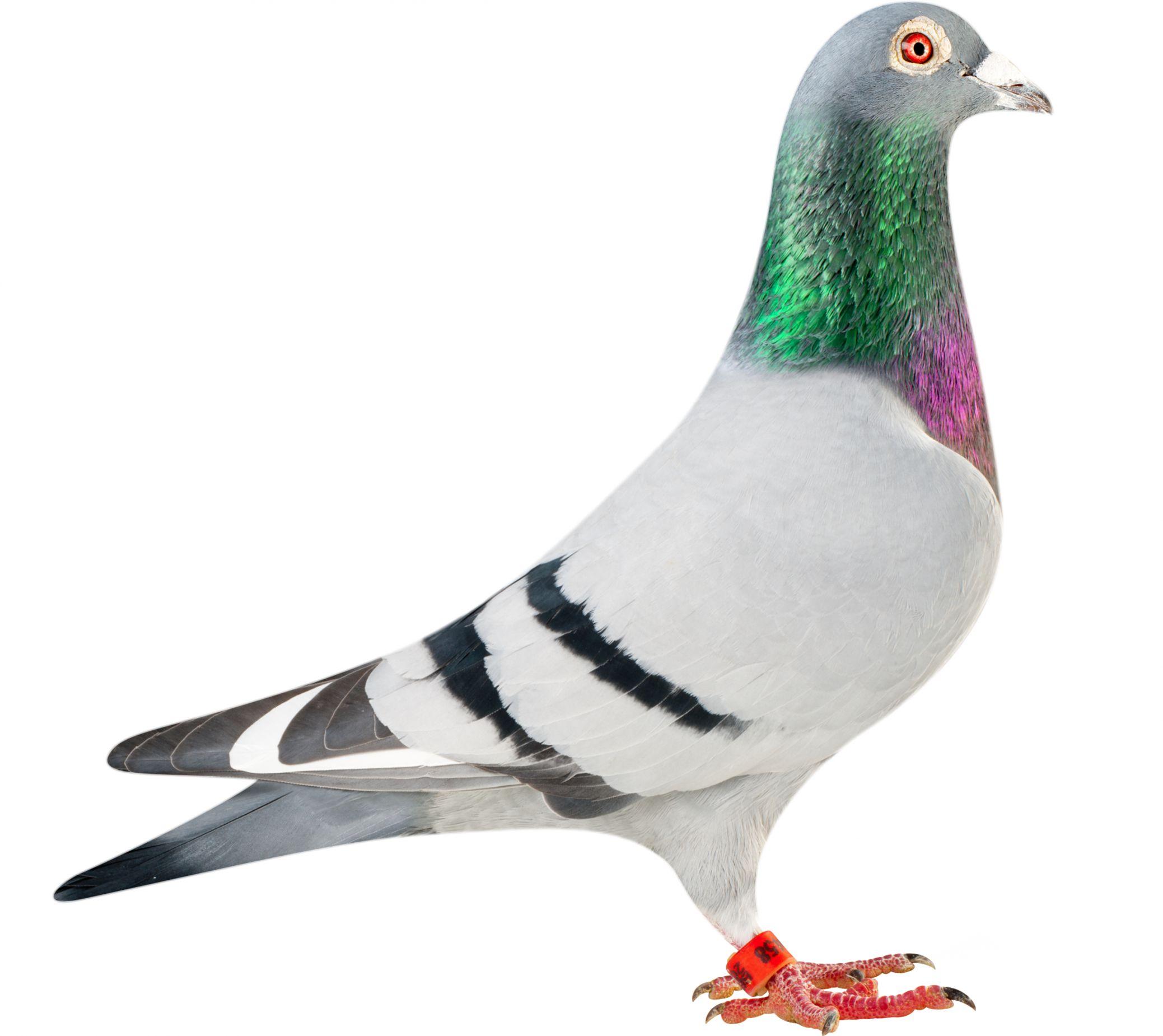 BE12-4153458_pigeon