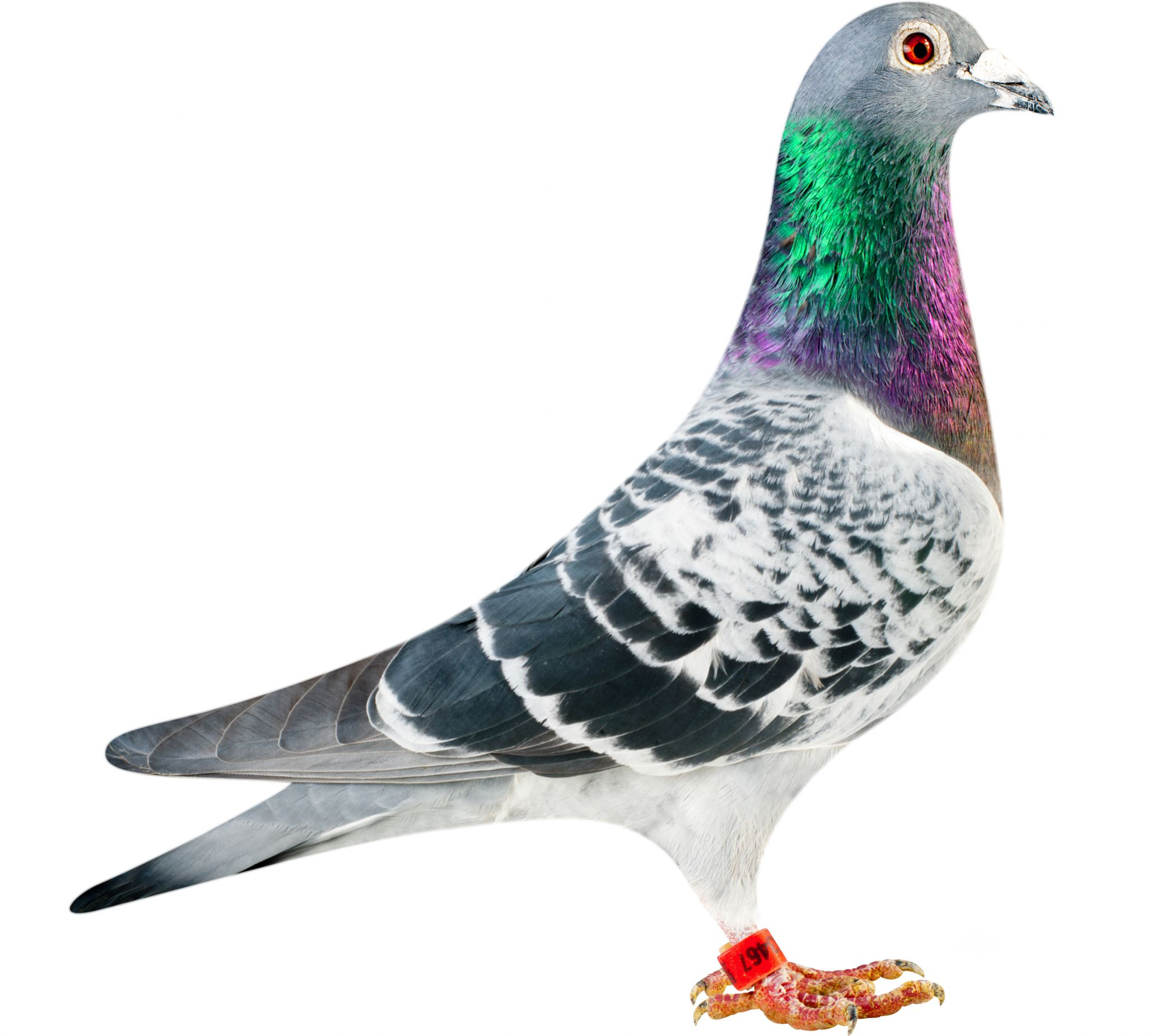 BE12-4153467_pigeon