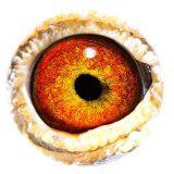 BE13-4156913_eye
