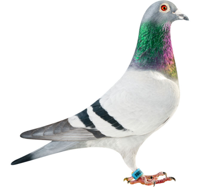 BE11-4078088_pigeon
