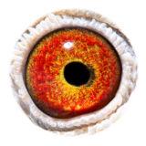 BE13-4291005_eye