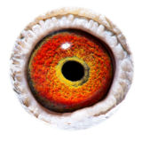 BE14-4198003_eye