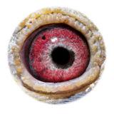 BE15-4008351_eye