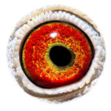 BE16-4118499_eye
