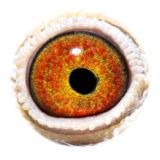 BE16-4127478_eye