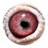 NL15-1762468_eye