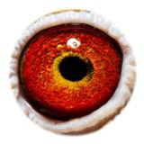 BE14-4283218_eye