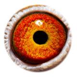 BE17-4058256_eye