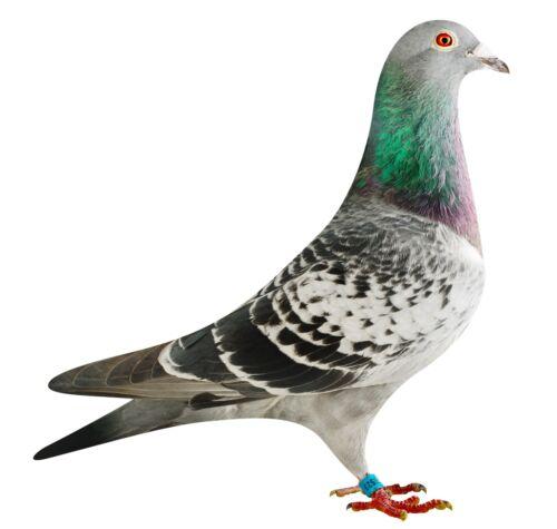 BE16-4118523_pigeon