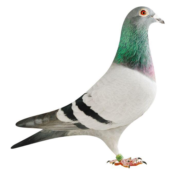 BE18-4204370_pigeon