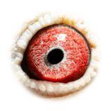 BE18-4204401_eye