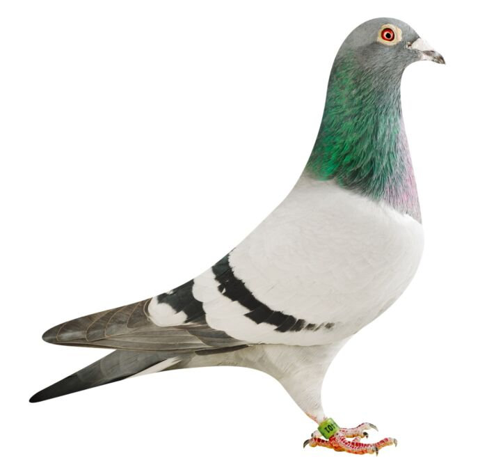 BE18-4204401_pigeon