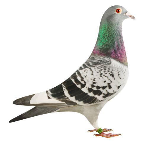 BE18-4204442_pigeon