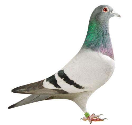 BE18-4204499_pigeon